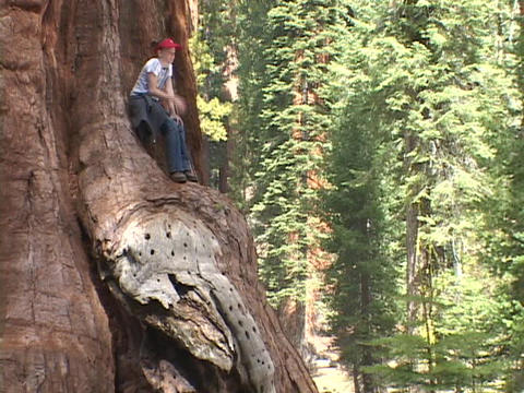 A girl sits in a giant Sequoia tree Stock Video Footage