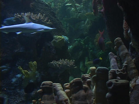 Hammerhead sharks swim near the ocean floor Stock Video Footage