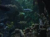 Hammerhead sharks swim near the ocean floor Footage