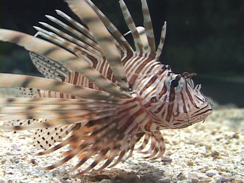 A lionfish swims in the water Stock Video Footage