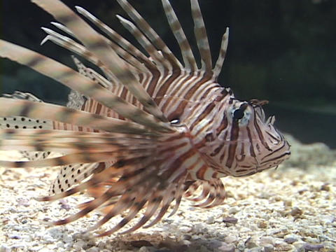A lionfish swims in the water Footage