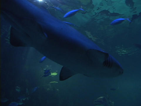 A shark swims in the ocean Footage