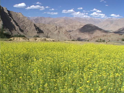Fields of mustard plants grow near the Afghanistan mountains Stock Video Footage