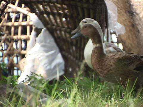 Ducks stand in the grass Stock Video Footage