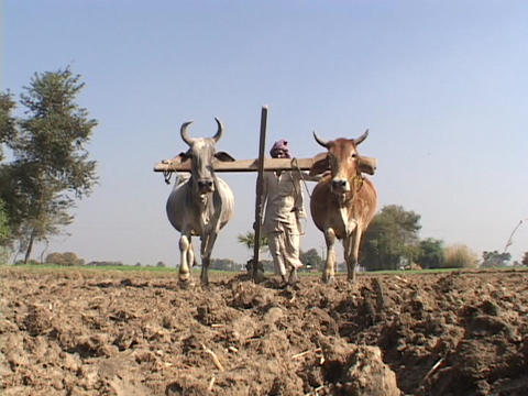 Oxen pull a plow in a field in India Footage