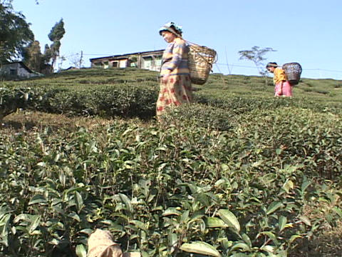Workers pick tea leaves at a plantation near Darjeeling... Stock Video Footage