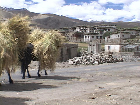 Horses carry bundles of wheat through a village Stock Video Footage