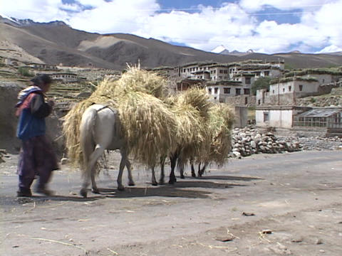 Horses carry bundles of wheat through a village Footage