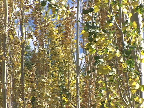 Aspen trees sway in a spring breeze Footage