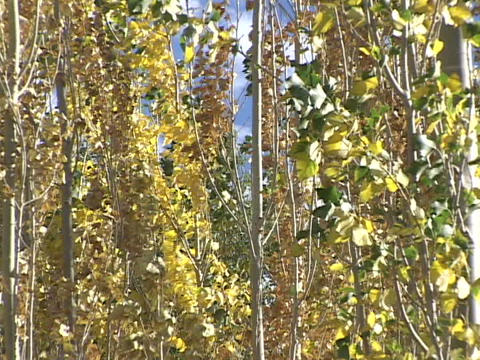 Aspen trees sway in a spring breeze Stock Video Footage