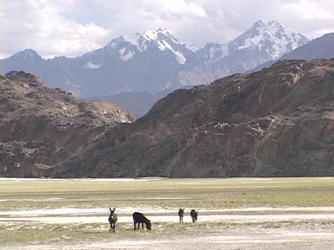 Wild donkeys graze in front of the Himalayas Stock Video Footage