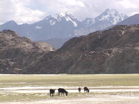 Wild donkeys graze in front of the Himalayas Footage