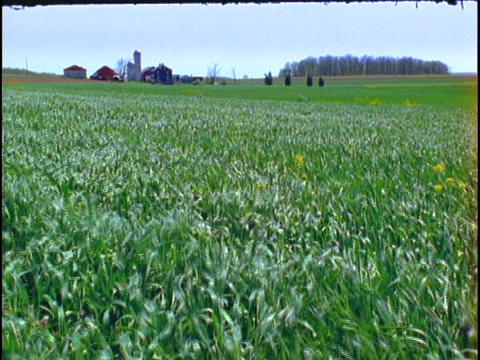 Crops blow in the wind on a farm Footage