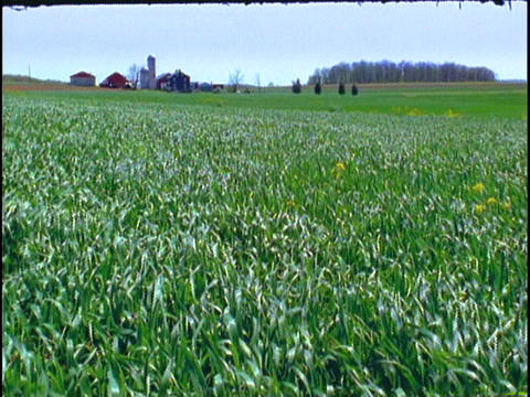 Crops blow in the wind on a farm Stock Video Footage