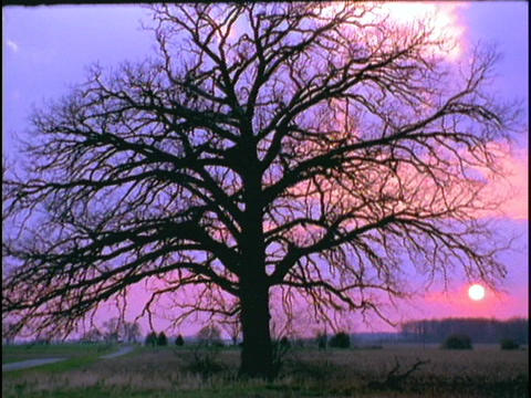 A lone tree stands in a field during golden hour Stock Video Footage
