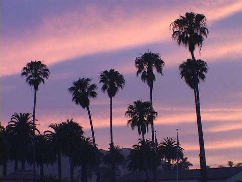 Palm trees stand against a blue and pink sky Footage