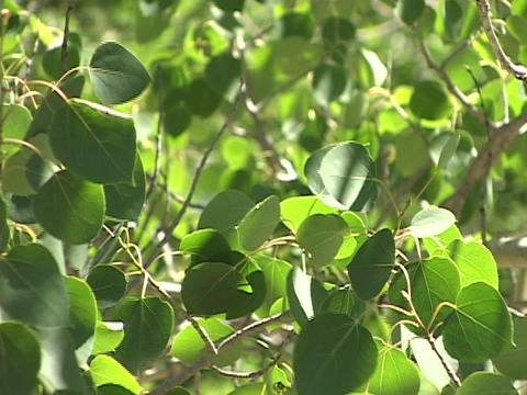 Green aspen leaves quiver in a light breeze Stock Video Footage