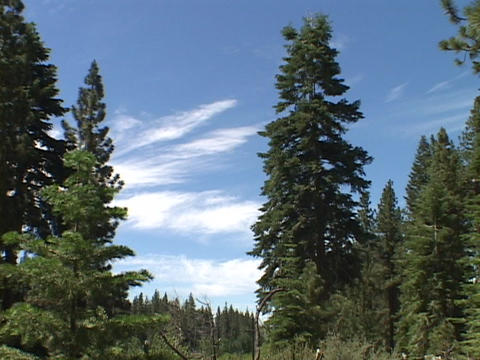 White clouds in a blue sky spread behind dark green pines Footage