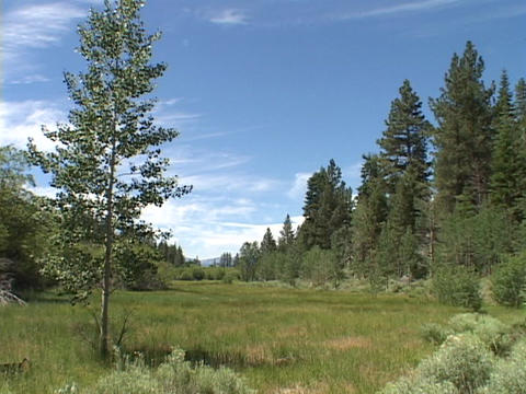 Tall pines stand at the edge of a grassy meadow Stock Video Footage