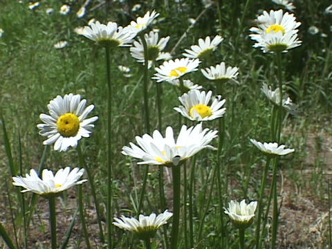 Wild daisies grow in a field in the springtime Stock Video Footage