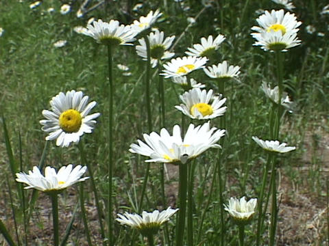 Wild daisies grow in a field in the springtime Footage