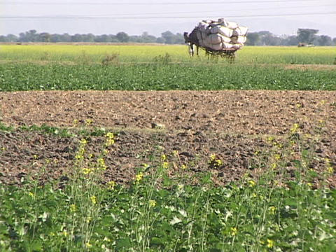 A farmer leads a camel cart through fields Stock Video Footage