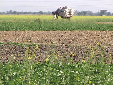 A farmer leads a camel cart through fields Stock Video Footage