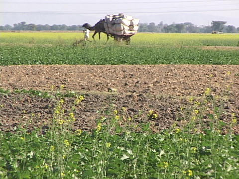 A farmer leads a camel cart through fields Footage