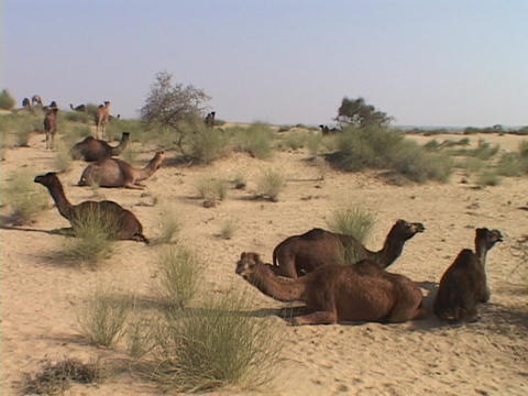Wild camels lay in the desert Stock Video Footage