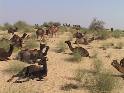 Wild camels lay in the desert Footage