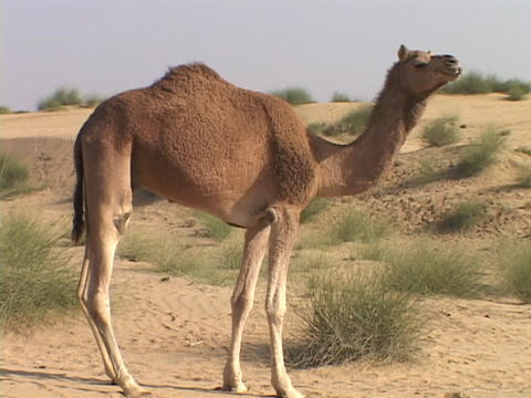 A camel stands in the desert Live Action