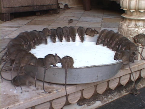 Rats sit perched on the edge of a giant vat of milk in... Stock Video Footage