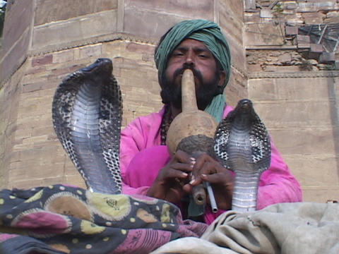 A snake charmer plays music for two cobra snakes in India Footage
