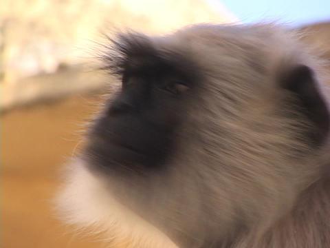 A monkey turns it's head Stock Video Footage
