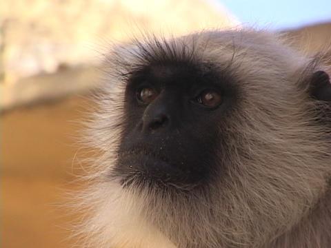 A monkey turns it's head Footage