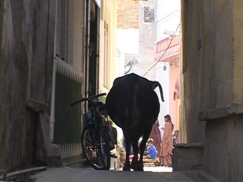 A sacred cow walks down a narrow alley in India Footage