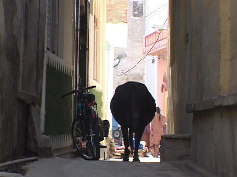 A sacred cow walks down a narrow alley in India Stock Video Footage