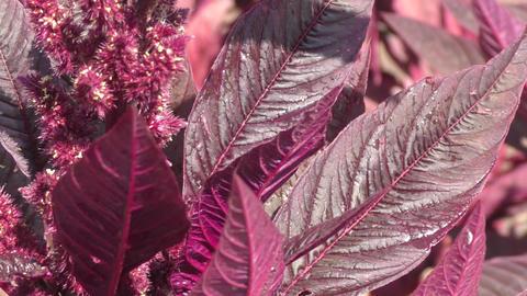Amaranth blossoms in summer day ビデオ