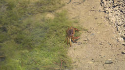 Small brown crab escape in 4k Footage