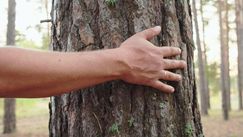 Male hand touching pine bark in woodland. Traveling man touchin trunk in pine Live Action