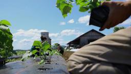 Volunteer work on ecological farm crops Live Action