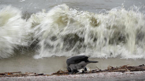 Hooded gray crow Corvus cornix picking dead fish and sea waves Live Action