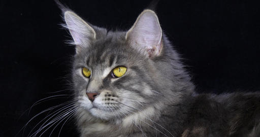 Blue Blotched Tabby Maine Coon Domestic Cat, Portrait of Female against Black Background, Normandy Live Action