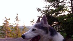 Husky is enjoying a trip at the mountain Footage