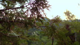 Cedar trees on a perfect summer day at sunset Footage