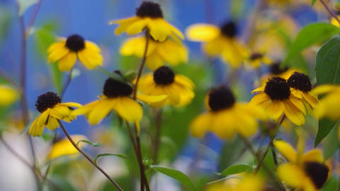 yellow daisies on a blue background Footage