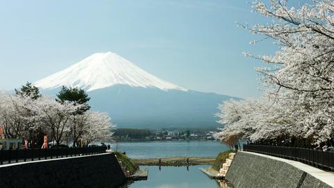 Sakura festival at lake Kawaguchi ビデオ