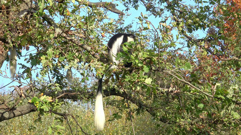 Mantled guereza (Colobus guereza) sitting high on the branch Live Action
