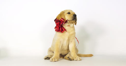 Yellow Labrador Retriever, Puppy offered as a Gift on White Background, yawning, Normandy, Slow Live Action