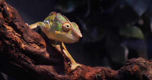 Panther Chameleon, furcifer pardalis, Adult standing on Branch, Madagascar, Slow motion 4K Live Action